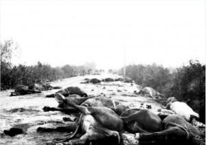 Carcasse di animali abbandonate lungo la strada della ritirata da Caporetto dell'esercito italiano dopo lo sfondamento del fronte del 24 ottobre 1917. Gli animali sfiniti o malati furono abbandonati o uccisi per non farli cadere in mano nemica