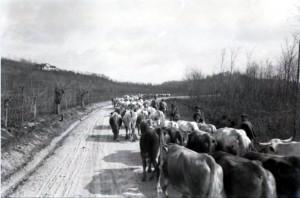 Una mandria di bovini, probabilmente requisiti dall'esercito austriaco, si avvia verso la zona della macellazione. La carne era una risorsa indispensabile per il rancio del soldato ma anche rara e quindi sempre razionata